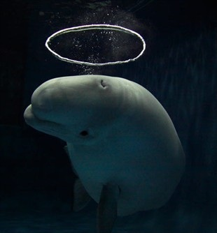 Amazing: Beluga whale blows ring-shaped bubbles