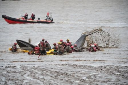 Emergency services battle for 8 hours to save beached whale