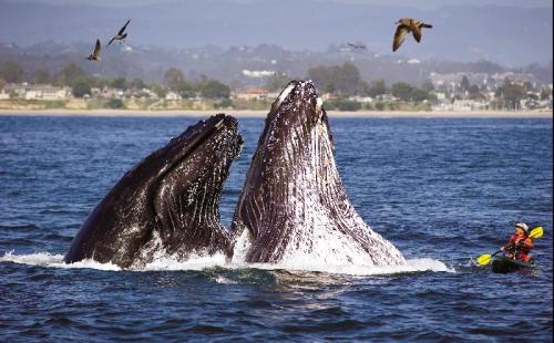 AMAZING PHOTO: Humpbacks give kayaker a close up encounter off Seabright