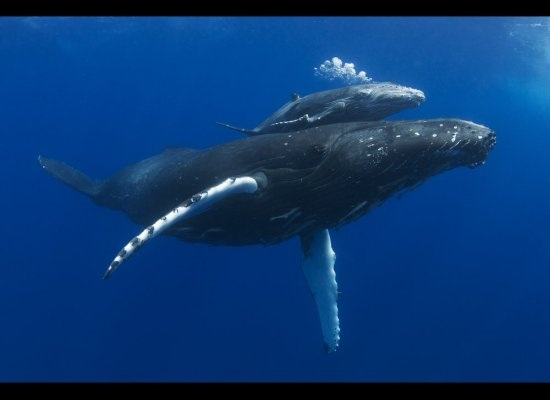 Baby humpback whales - photo#15