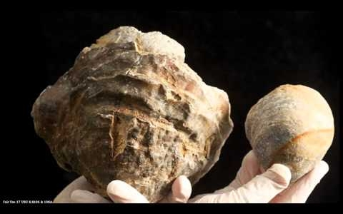 Oyster's Biggest Pearl Size of Golf Ball, 100 Million Years Old?