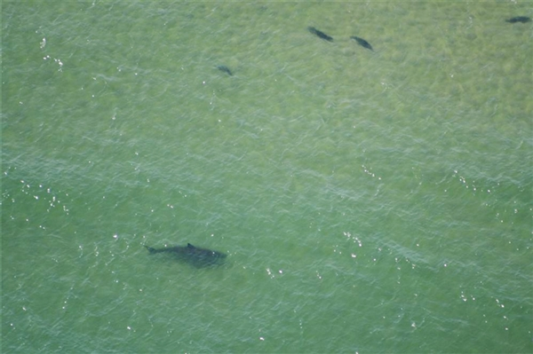 Great white shark sightings prompt swimming ban off Cape Cod