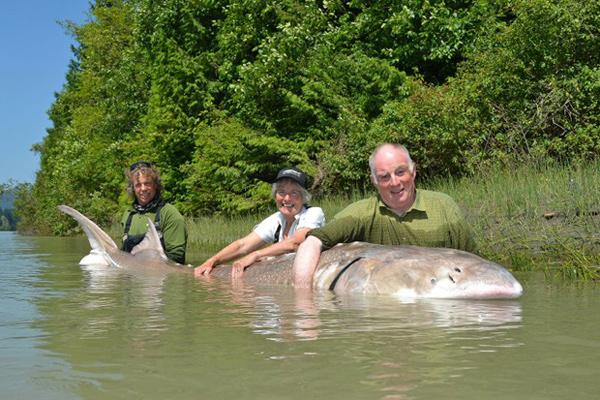 UPDATE: 12-foot sturgeon caught near Chilliwack close to record  #Fishing