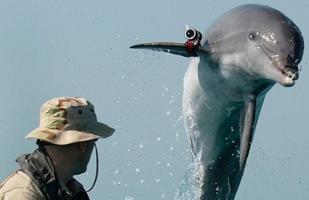 A military-trained dolphin not one of the ones missing is pictured Militaries around the world use dolphins for covert operations.
