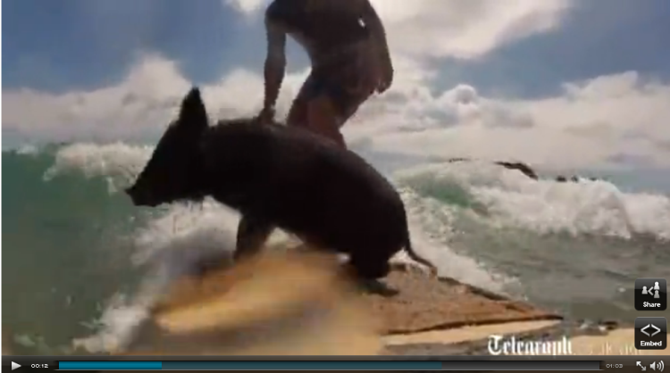 VIDEO: Surfing pig becomes a star in New Zealand #SurfReport