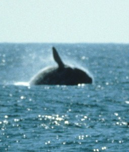 north-pacific-right-whale-spotted-7-510x600