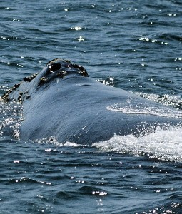 north-pacific-right-whale-spotted-8-510x600