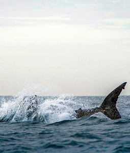 shark-jumps-for-seal-3-510x600