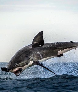 shark-jumps-for-seal-5-510x600
