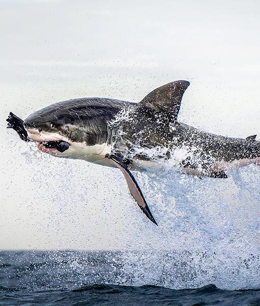 shark-jumps-for-seal-8-510x600
