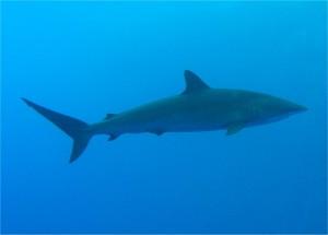 Silky_Shark