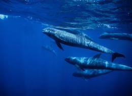 Melon Head Whales