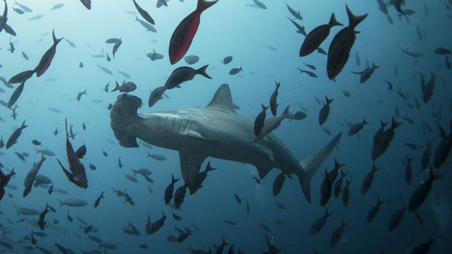 A hammerhead shark swims close to Wolf Island at Galapagos Marine Reserve
