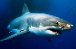 shark-620x402