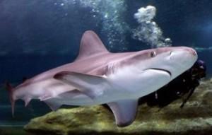 Shark Shalom