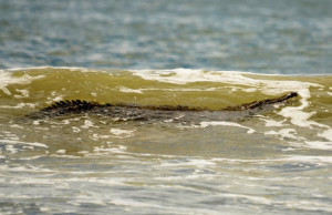 This crocodile attacked a surfer in Tamarindo on Sunday. Courtesy of Rafael Sandoval