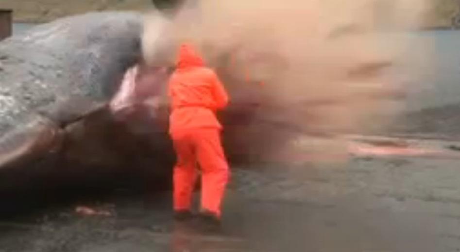 exploding sperm whale