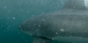 Man Jumps Into Sydney Harbor and Encounters a Great White Shark