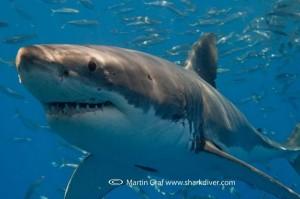 SharkDiverGWS-300x199